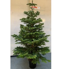 Christmas Tree in pot 160-180 cm