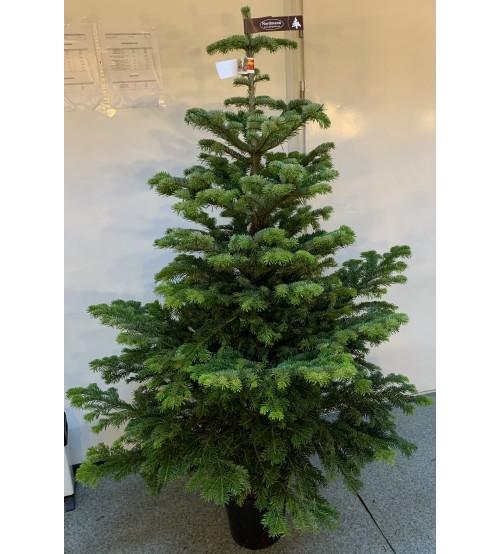 Christmas Tree in pot 160-180 cm