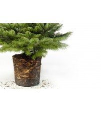 TOP QUALITY Nordmann Christmas tree root from 80 to 100 cm