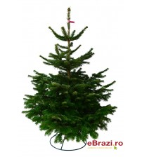 TOP QUALITY Nordmann fir 100-125 cm