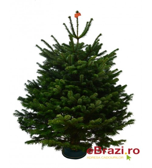 Brad natural de Craciun Nordmann TOP QUALITY 150-175 cm