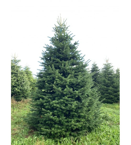 TOP QUALITY Nordmann Christmas tree 7-8m