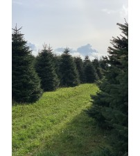 TOP QUALITY Nordmann Christmas tree 6-7m