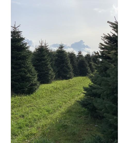 TOP QUALITY Nordmann Christmas tree 2,25-2,50m