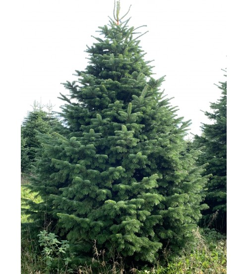 TOP QUALITY Nordmann Christmas tree 4,5-5m
