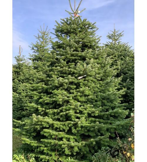 TOP QUALITY Nordmann Christmas Tree 3-3,5m