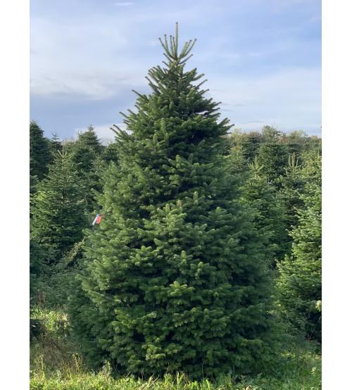 TOP QUALITY Nordmann Christmas tree 5-6m