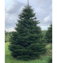 TOP QUALITY Nordmann Christmas tree 4-4,5m