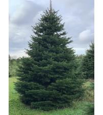 TOP QUALITY Nordmann Christmas tree 4-4,5m