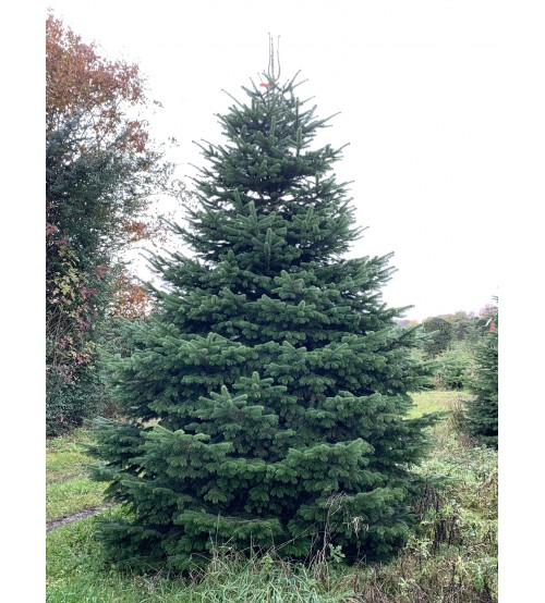 TOP QUALITY Nordmann Christmas tree 6-7m