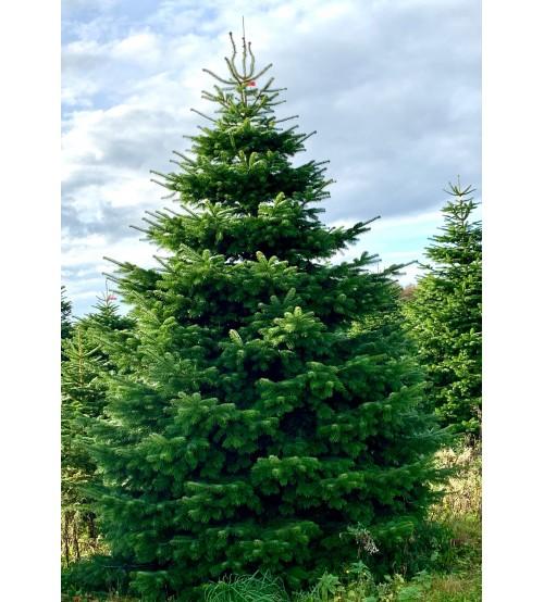 TOP QUALITY Nordmann Christmas Tree 2-2,25m
