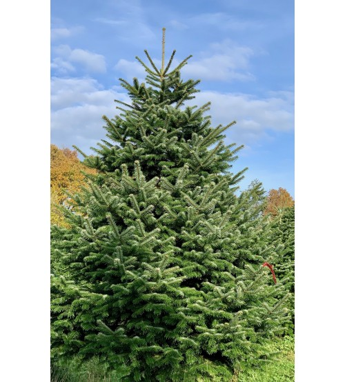 TOP QUALITY Nordmann Christmas Tree 150-175 cm
