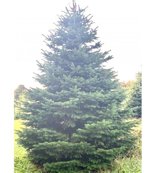 TOP QUALITY Nordmann Christmas Tree 175-200 cm