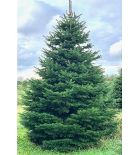 TOP QUALITY Nordmann Christmas tree 2,25-2,50m