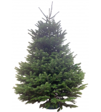 TOP QUALITY Nordmann fir 3,5-4m