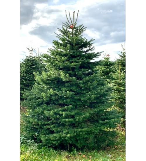Christmas Tree Nordmann 3m-4m
