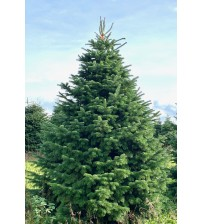 Christmas Tree Nordmann 3m-4m
