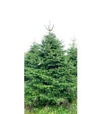 Christmas Tree Nordmann 3m-4m V.I.P.