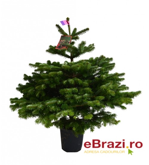 TOP QUALITY Nordmann Christmas tree root from 0.80 to 100 cm