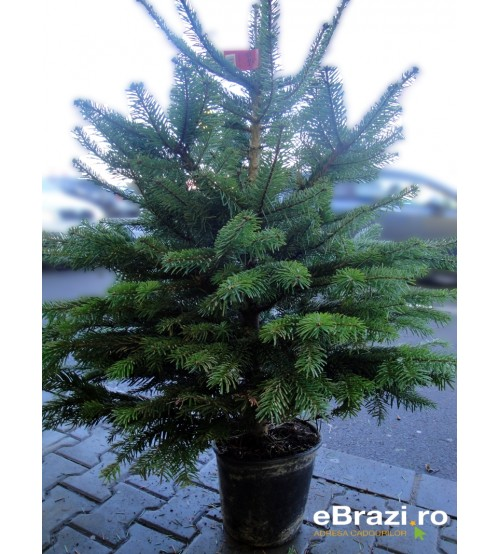 TOP QUALITY Nordmann Christmas tree root from 100 - 120 cm