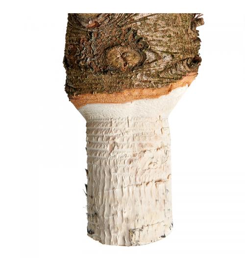Brad natural de Craciun Nordmann Standard 100-150 cm
