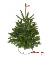 Brad natural de Craciun nordmann TOP QUALITY 0,50 -100 cm