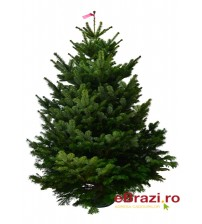Brad natural de Craciun Nordmann TOP QUALITY 175-200 cm