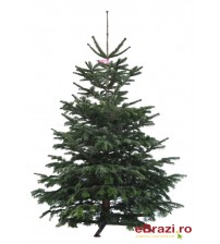 Brad natural de Craciun nordmann Premium  200-225 cm