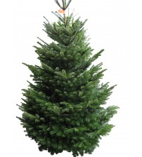 TOP QUALITY Nordmann Christmas Tree 2-2,25m