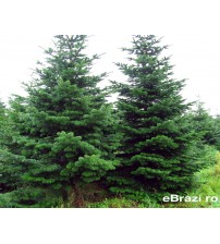 Brad natural de Craciun nordmann TOP PREMIUM 400-450 cm