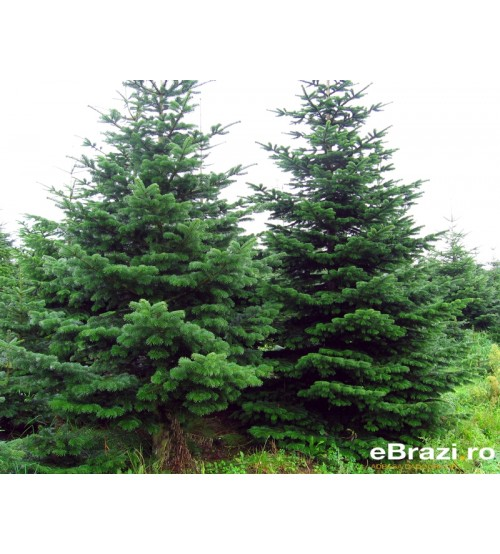 Brad natural de Craciun nordmann TOP PREMIUM 700-800 cm
