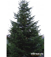 Brad natural de Craciun nordmann TOP PREMIUM 450-500 cm